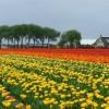 Manía-tulipanes