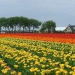 Bitcoin y la manía de los tulipanes